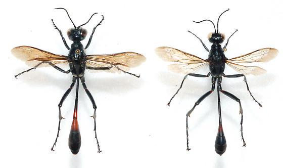 Ammophila and/or Podalonia - Ammophila