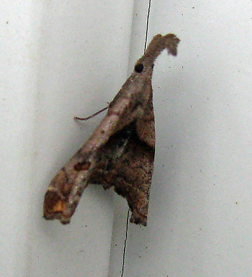 Palthis moth - Palthis angulalis