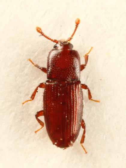 Beetle - Cerylon unicolor