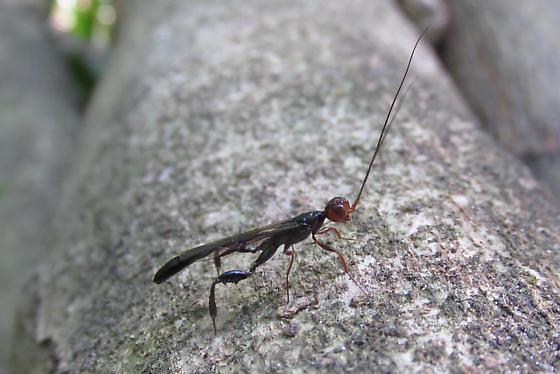 Unknown parasitic wasp - Megischus bicolor - male