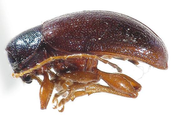 semi-metalic leaf beetle - Tymnes