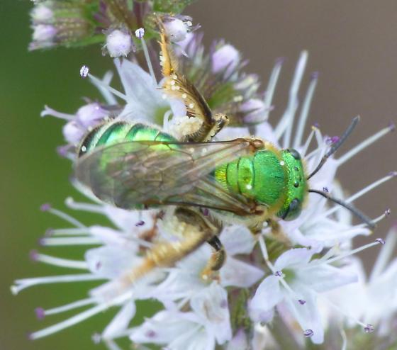 Agapostemon female sp? - Agapostemon - female