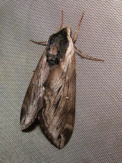 Sphinx Moth34 - Sphinx gordius