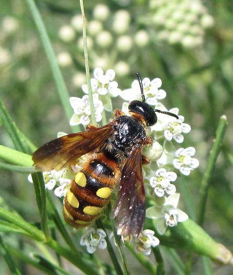 Scoliid wasp - Crioscolia alcione - female