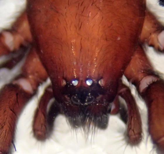 Female gnaphosid - N. voluntarius? - Nodocion voluntarius - female
