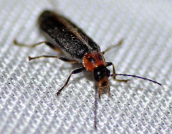 Cantharidae? - Osphya varians