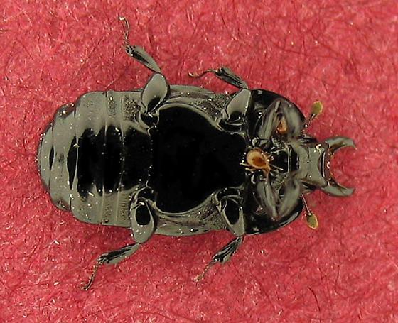Mites on histerid - Lobogynioides