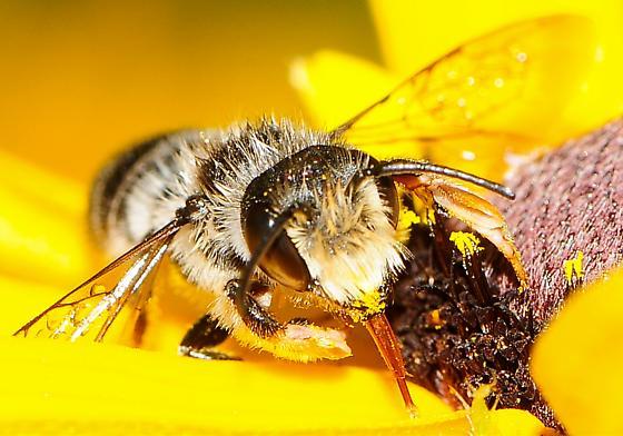Megachile pugnata - Pugnacious Leaf-cutter Bee - Megachile pugnata
