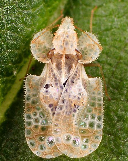 Lace Bug - Corythucha marmorata