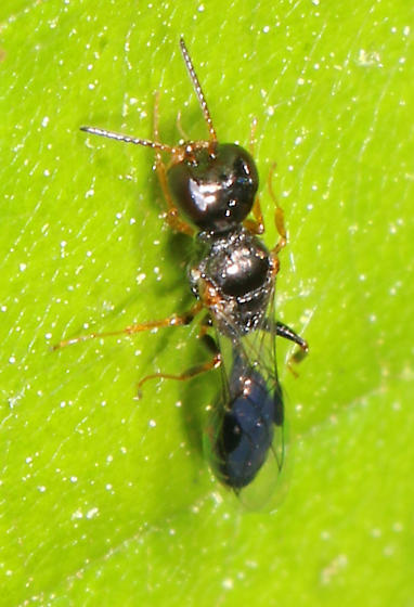 small Wasp - Stigmus americanus? - Stigmus