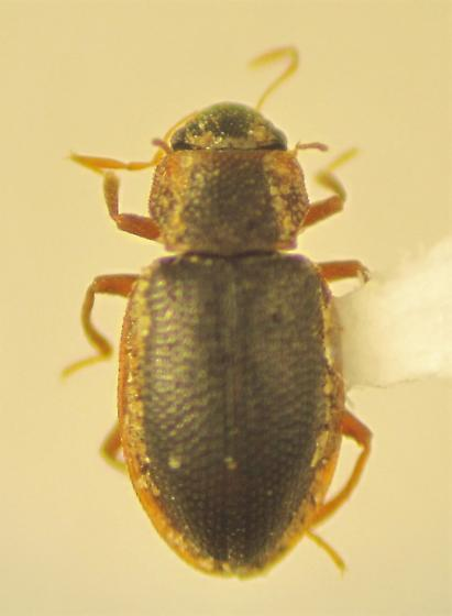 Hydraena quadricurvipes - male