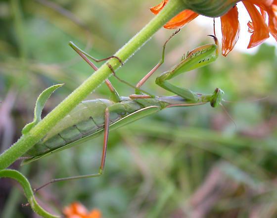 Mantis possibly laying eggs? - Mantis religiosa - female