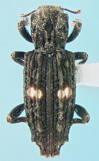 Bothriderid - Lithophorus ornatus