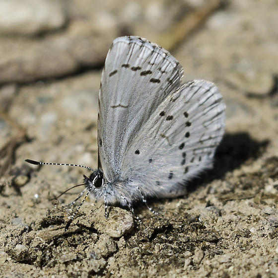 Pacific azure - Celastrina echo - male