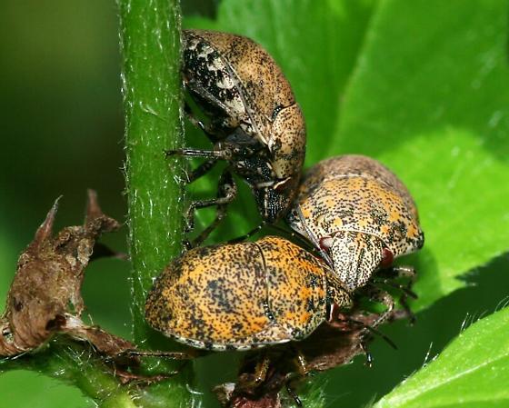 Orsilochides - Orsilochides stictica