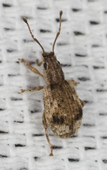 Weevil Sp. - Pseudoedophrys hilleri