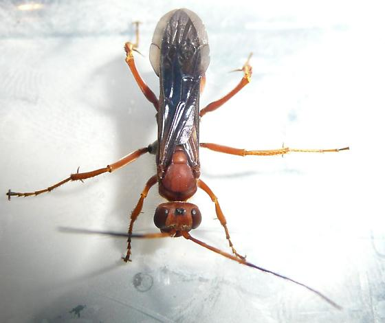 Red wasp - Priocnessus nuperus - female