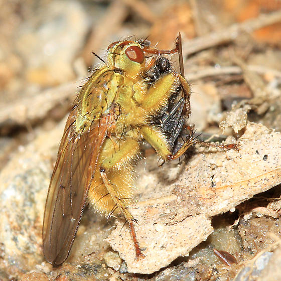 Golden Dung Fly eating another fly - Scathophaga stercoraria