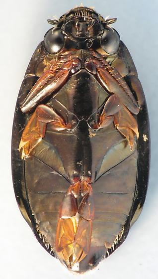 Backyard Beetle Family #50 - Dineutus