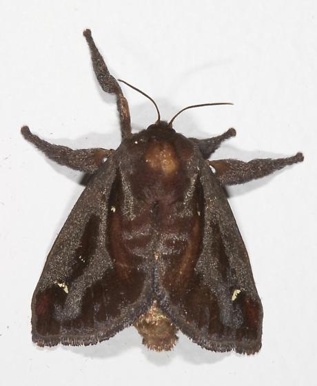 Saddleback Caterpillar Moth - Acharia stimulea - female