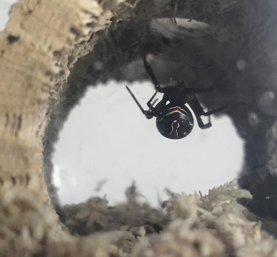 Black Widow - Latrodectus hesperus - female