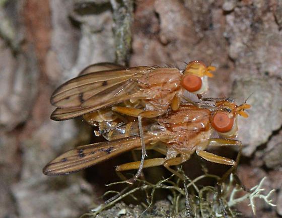 Grapefruit Rocks flies - male - female