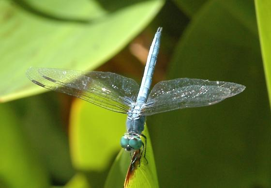 Blue Dasher for California in August - Pachydiplax longipennis - male
