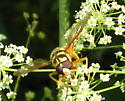Yellowjacket Hover Fly - Milesia virginiensis - male