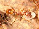 yellow ants - Aphaenogaster