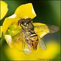 Syrphidae family, Hover or Flower Fly - Toxomerus marginatus - male - female