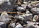 Cib nymph - Cibolacris parviceps