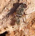 Golden bee fly - Aphoebantus