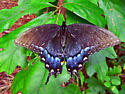 Is this a Black Swallowtail ? - Papilio glaucus