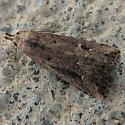 Something from Gelechiidae? - Schrankia macula