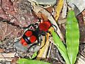 Red Velvet Ant - Dasymutilla occidentalis - female
