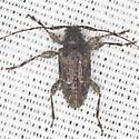 Long-horned Beetle - Astylidius parvus