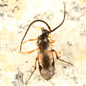 Braconid Wasp - Microplitis