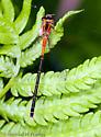 Eastern Forktail Damselfly - juvenile - Ischnura verticalis - female