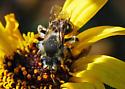 Husky Bee on Encelia - Andrena
