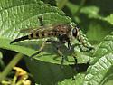 Promachus rufipes - female