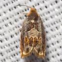 Red-headed Ancylis Moth - Hodges #3377 - Ancylis muricana