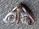 Paectes oculatrix - Eyed Paectes - Hodges#8957 - Paectes oculatrix