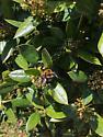 Bumble Bee - Xylocopa virginica - male