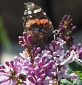is this an American snout? - Vanessa atalanta