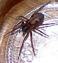 What kind of spider is this? - Callobius pictus