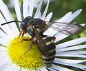 Epeolus scutellaris? - Epeolus scutellaris - female