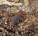 Silvanidae - Uleiota dubia