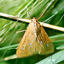 White spotted Orange Moth -  - Diastictis argyralis