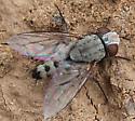 Tachinidae - Taxigramma hilarella