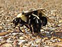 Carpenter Bees - mating?? - Bombus fraternus - male - female